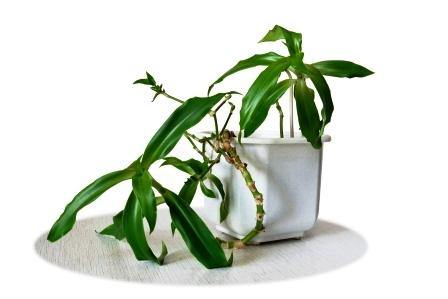 kalisia leciva rostlina