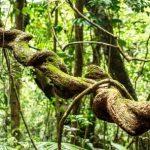 Liana v dazdovem pralese