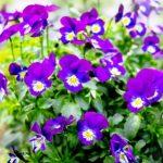 Modro fialove kvety fialky