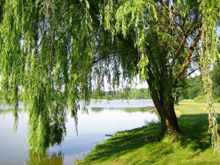 strom pri jezere